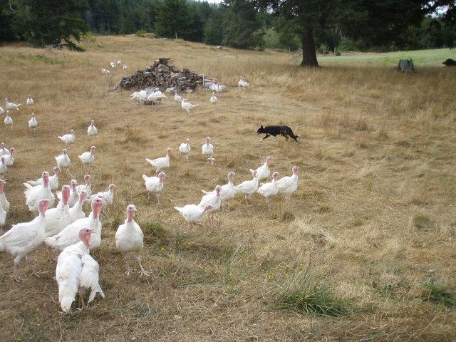 Dottie, the Border Collie, Herding Turkeys