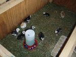 Bourbon Red and Black Spanish poults